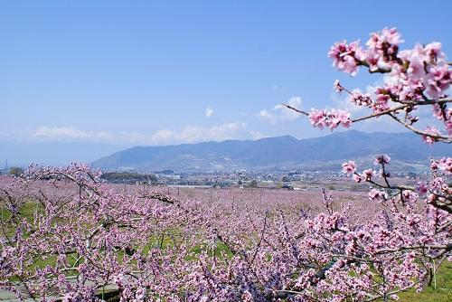 山梨市で開催される桃の花まつり情報2019